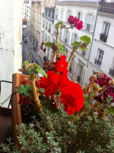 A flower blooms in the window box of my apartment in the Marais.